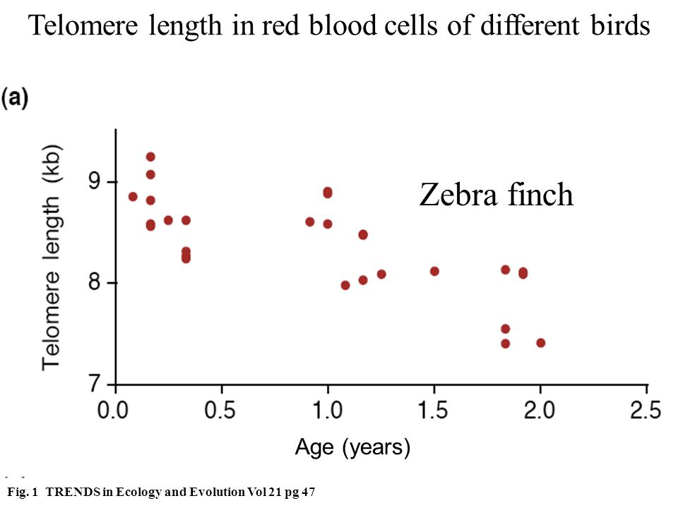 Zebra finch Telomere length in red blood cells of different birds Fig.