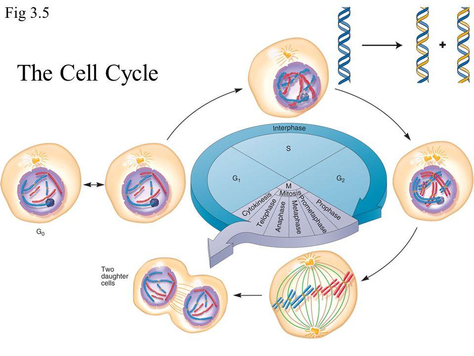 start of mitosis Fig 3.8