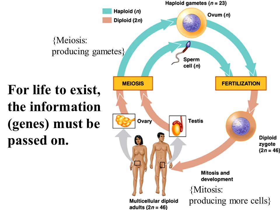 For life to exist, the information (genes) must be passed on.
