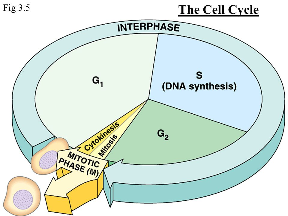 The Cell Cycle Fig 3.5