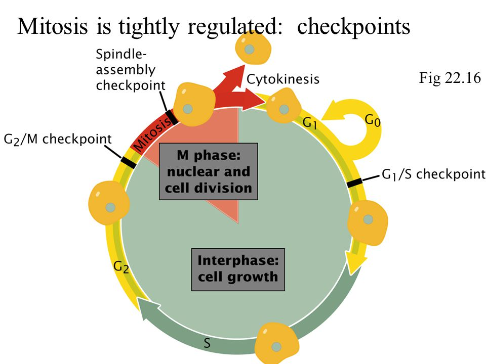 Mitosis is tightly regulated: checkpoints Fig 22.16
