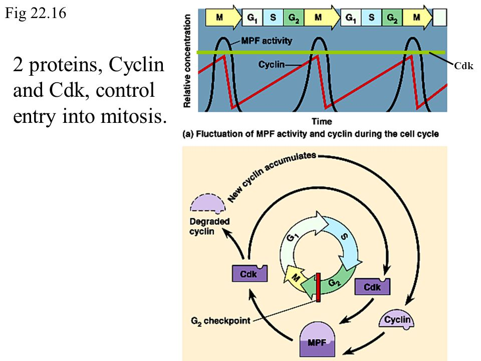 Cdk 2 proteins, Cyclin and Cdk, control entry into mitosis. Fig 22.16