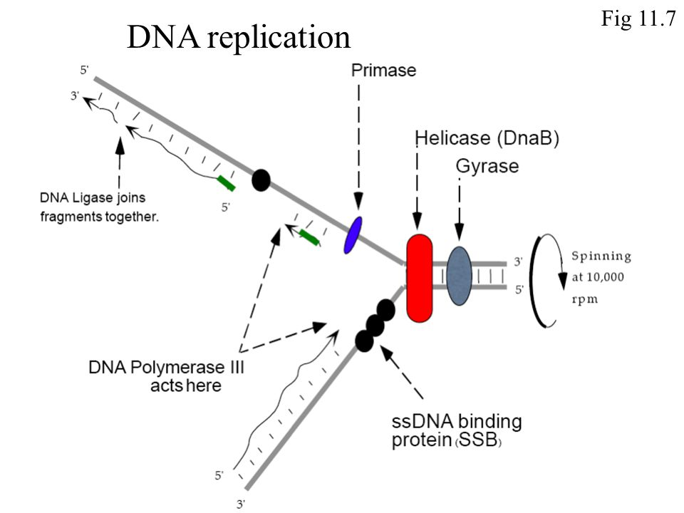 Fig 11.7 DNA replication