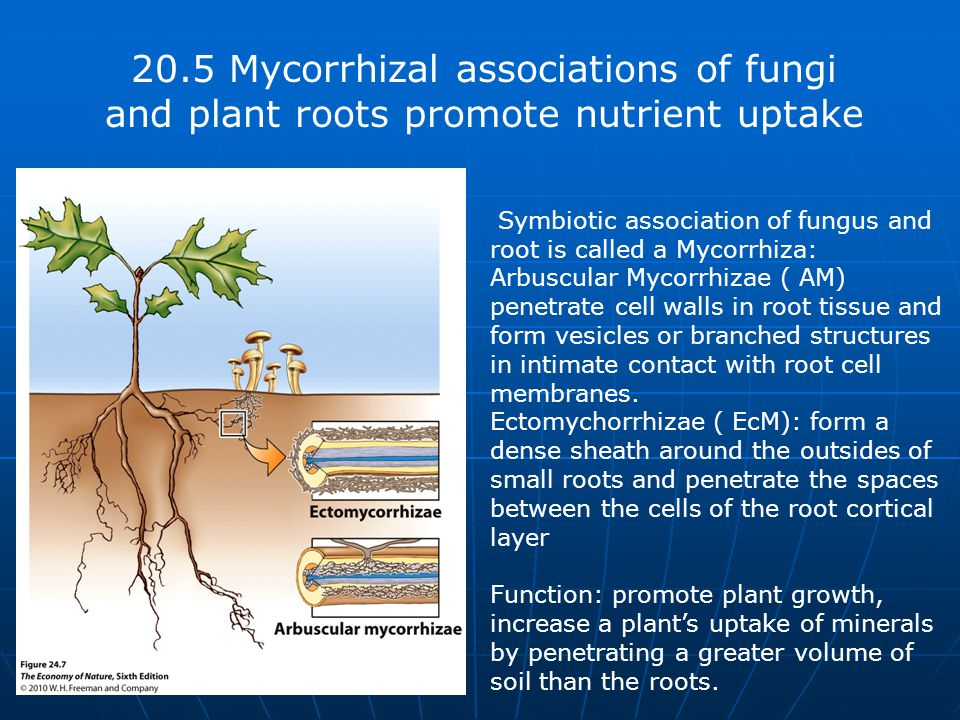20.5 Mycorrhizal associations of fungi and plant roots promote nutrient uptake Symbiotic association of fungus and root is called a Mycorrhiza: Arbuscular Mycorrhizae ( AM) penetrate cell walls in root tissue and form vesicles or branched structures in intimate contact with root cell membranes.