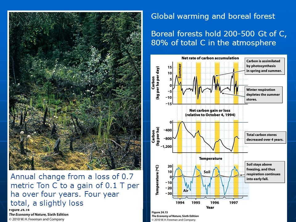 Global warming and boreal forest Boreal forests hold 200-500 Gt of C, 80% of total C in the atmosphere Annual change from a loss of 0.7 metric Ton C to a gain of 0.1 T per ha over four years.
