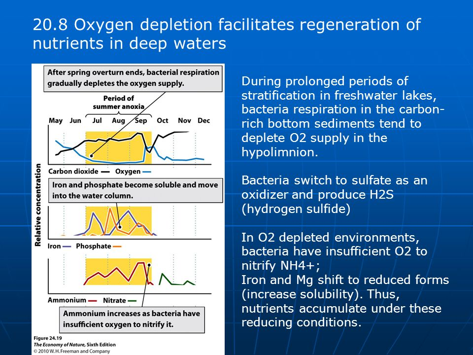 20.8 Oxygen depletion facilitates regeneration of nutrients in deep waters During prolonged periods of stratification in freshwater lakes, bacteria respiration in the carbon- rich bottom sediments tend to deplete O2 supply in the hypolimnion.