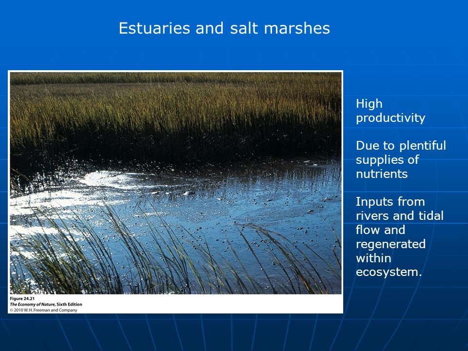 Estuaries and salt marshes High productivity Due to plentiful supplies of nutrients Inputs from rivers and tidal flow and regenerated within ecosystem