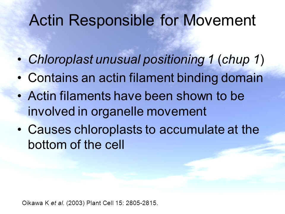 Actin Responsible for Movement Chloroplast unusual positioning 1 (chup 1) Contains an actin filament binding domain Actin filaments have been shown to