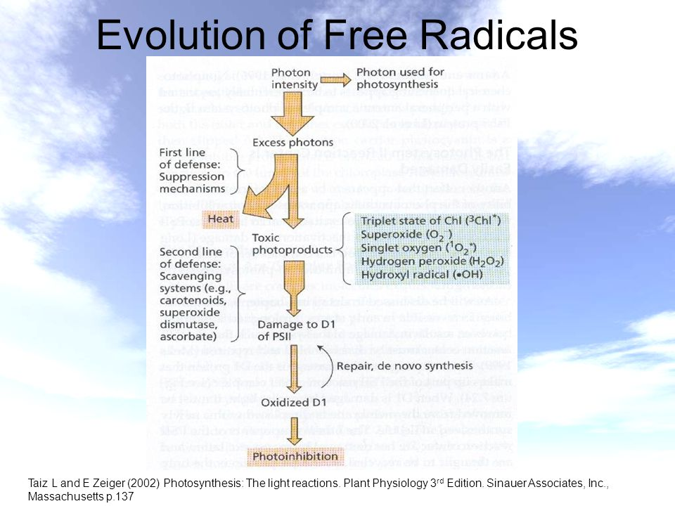 Evolution of Free Radicals Taiz L and E Zeiger (2002) Photosynthesis: The light reactions. Plant Physiology 3 rd Edition. Sinauer Associates, Inc., Ma
