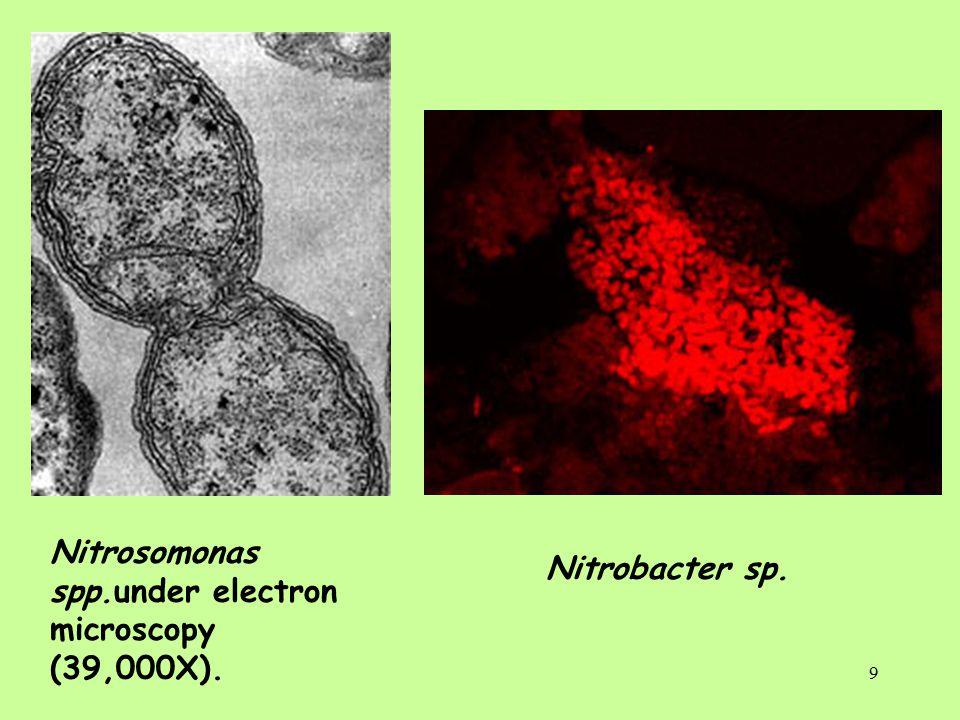 9 Nitrosomonas spp.under electron microscopy (39,000X). Nitrobacter sp.