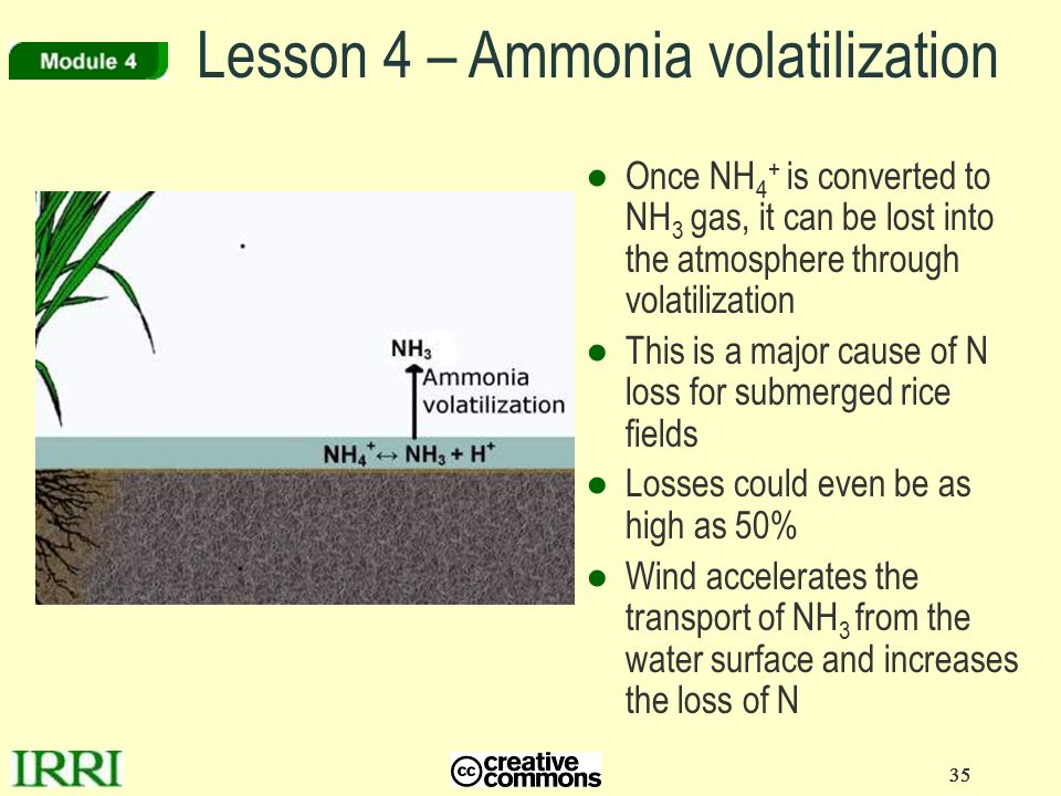 35 ●Once NH 4 + is converted to NH 3 gas, it can be lost into the atmosphere through volatilization ●This is a major cause of N loss for submerged ric