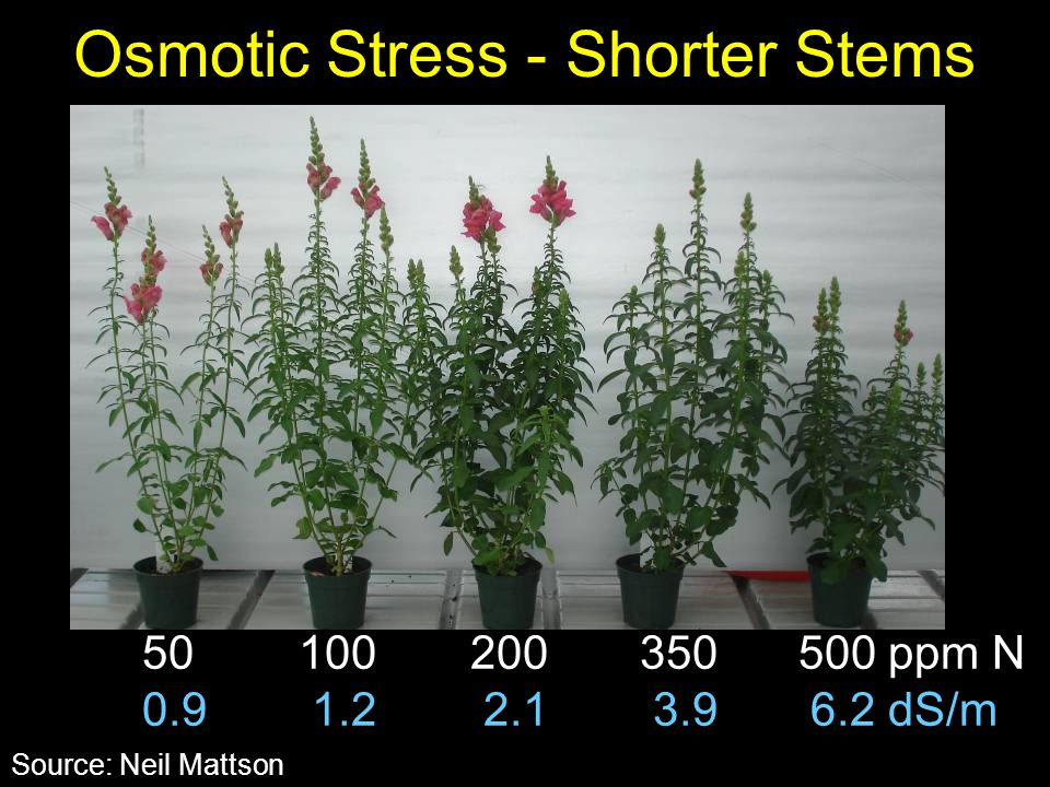 Osmotic Stress - Shorter Stems 50 100 200 350 500 ppm N 0.9 1.2 2.1 3.9 6.2 dS/m Source: Neil Mattson