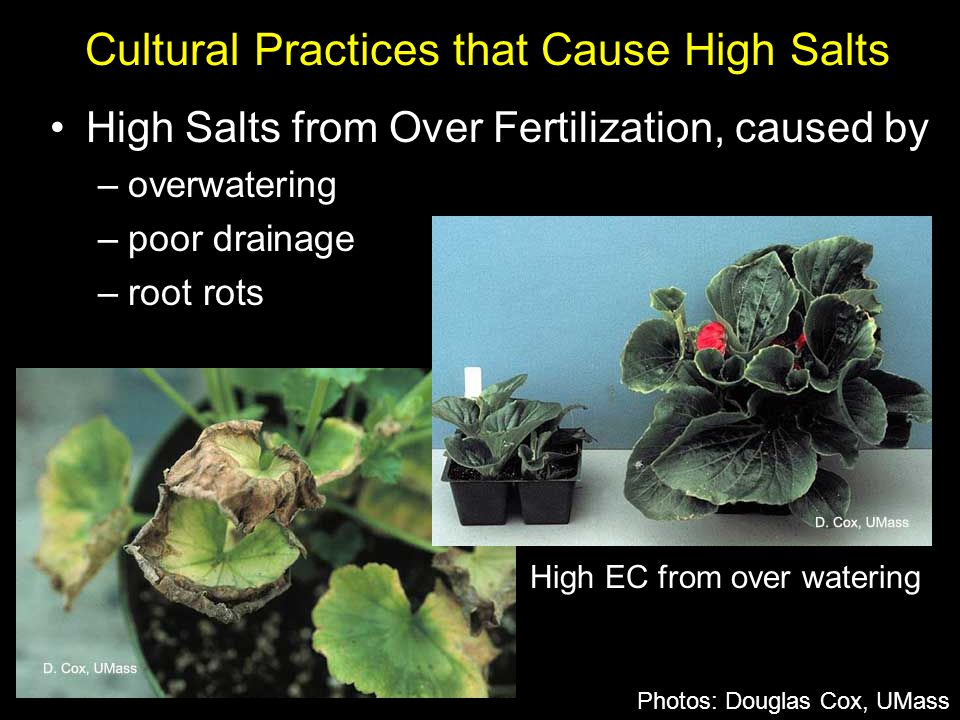 High Salts from Over Fertilization, caused by –overwatering –poor drainage –root rots Cultural Practices that Cause High Salts Photos: Douglas Cox, UM