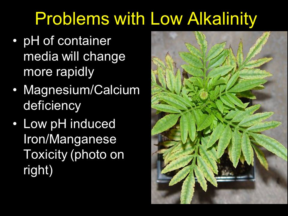 Problems with Low Alkalinity pH of container media will change more rapidly Magnesium/Calcium deficiency Low pH induced Iron/Manganese Toxicity (photo