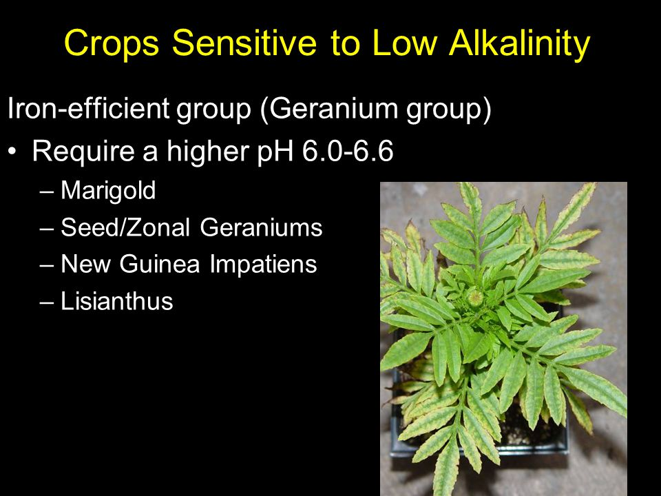 Crops Sensitive to Low Alkalinity Iron-efficient group (Geranium group) Require a higher pH 6.0-6.6 –Marigold –Seed/Zonal Geraniums –New Guinea Impati