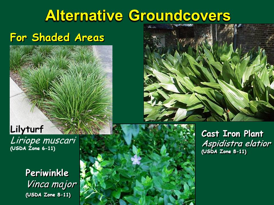 Alternative Groundcovers For Shaded Areas Lilyturf Liriope muscari (USDA Zone 6-11) Periwinkle Vinca major (USDA Zone 8-11) Cast Iron Plant Aspidistra elatior (USDA Zone 8-11)