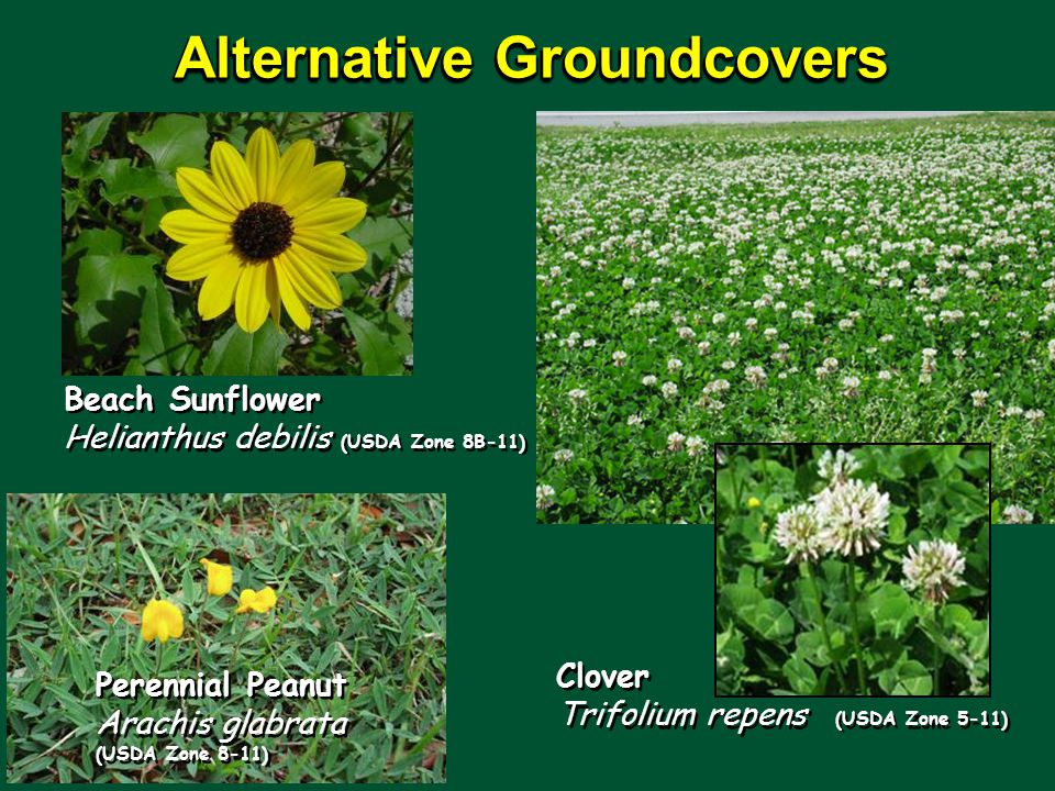 Beach Sunflower Helianthus debilis (USDA Zone 8B-11) Alternative Groundcovers Clover Trifolium repens (USDA Zone 5-11) Perennial Peanut Arachis glabrata (USDA Zone 8-11)