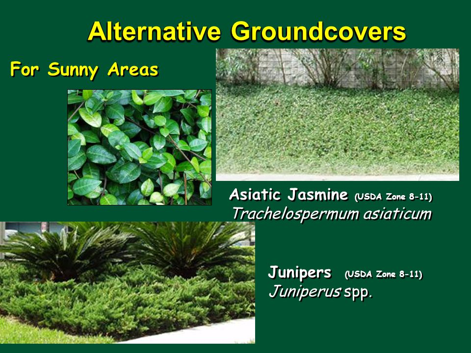 Alternative Groundcovers Junipers (USDA Zone 8-11) Juniperus spp.