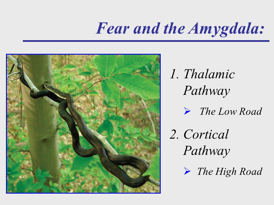 A Walk in the Woods Fear and the Amygdala: 1.Thalamic Pathway  The Low Road 2.Cortical Pathway  The High Road