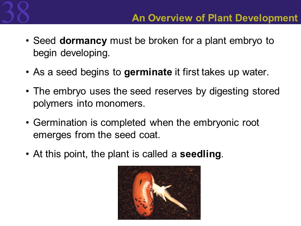 38 An Overview of Plant Development Seed dormancy must be broken for a plant embryo to begin developing.