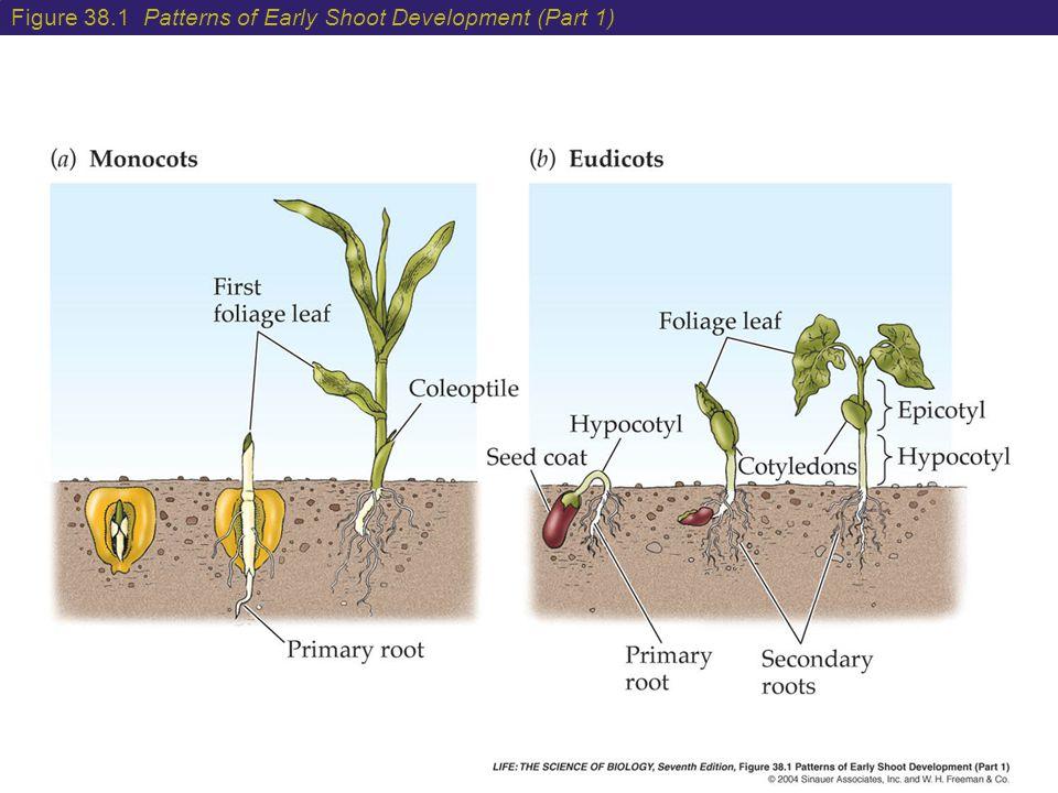 Figure 38.1 Patterns of Early Shoot Development (Part 1)