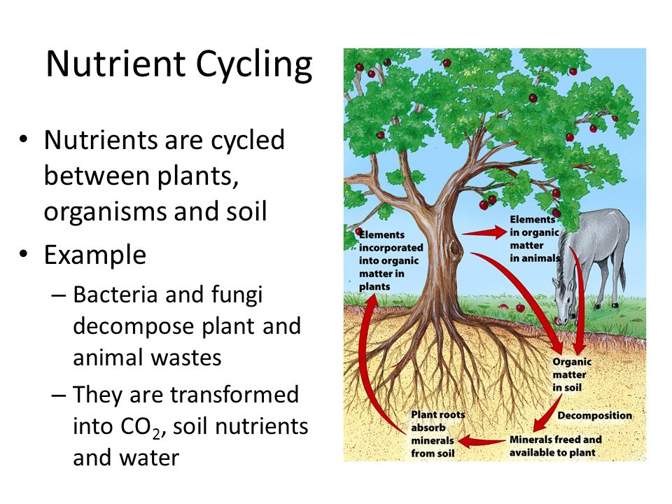 Nutrient Cycling Nutrients are cycled between plants, organisms and soil Example – Bacteria and fungi decompose plant and animal wastes – They are tra