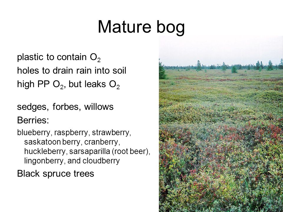 Mature bog plastic to contain O 2 holes to drain rain into soil high PP O 2, but leaks O 2 sedges, forbes, willows Berries: blueberry, raspberry, strawberry, saskatoon berry, cranberry, huckleberry, sarsaparilla (root beer), lingonberry, and cloudberry Black spruce trees
