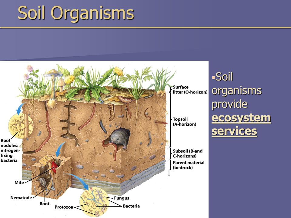 Soil Organisms  Soil organisms provide ecosystem services