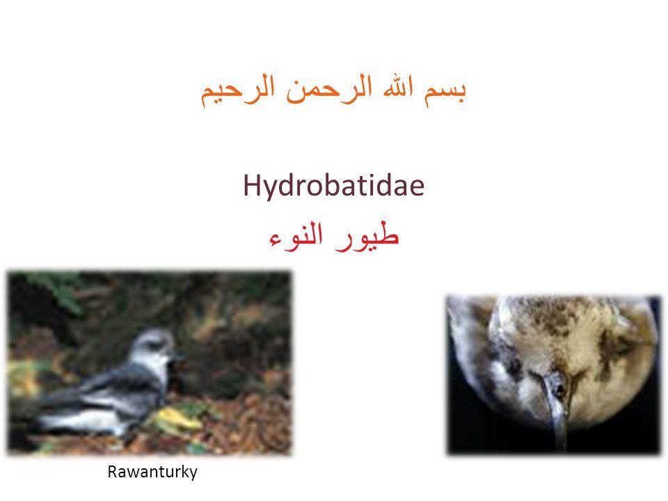بسم الله الرحمن الرحيم Hydrobatidae طيور النوء Rawanturky