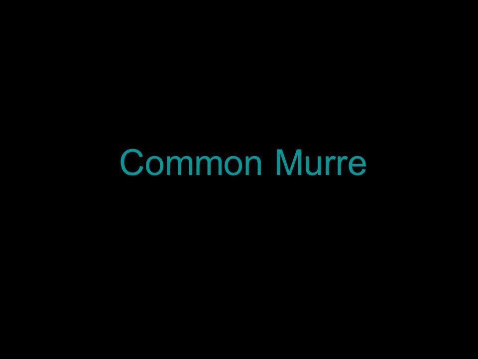 Common Murre