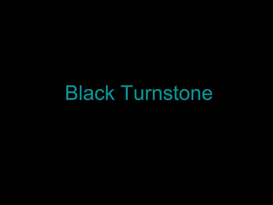 Black Turnstone