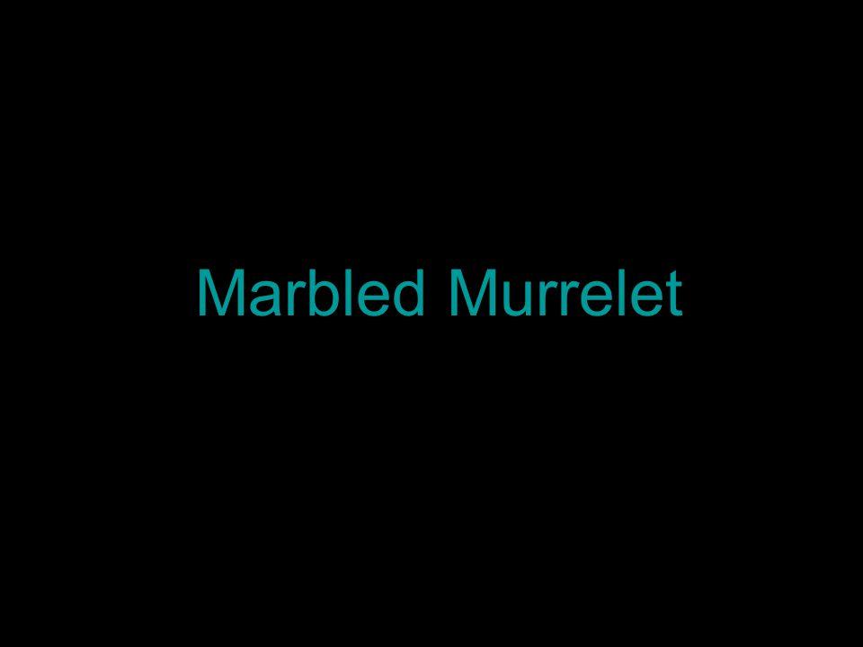 Marbled Murrelet