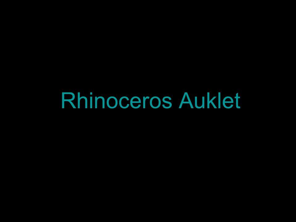 Rhinoceros Auklet