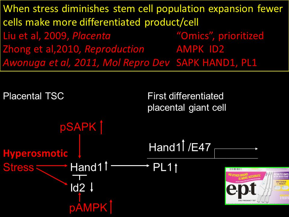 When stress diminishes stem cell population expansion fewer cells make more differentiated product/cell Liu et al, 2009, Placenta Omics , prioritized Zhong et al,2010, ReproductionAMPK ID2 Awonuga et al, 2011, Mol Repro DevSAPK HAND1, PL1 Placental TSCFirst differentiated placental giant cell pSAPK Hand1 /E47 Stress Hand1 PL1 Id2 pAMPK Hyperosmotic