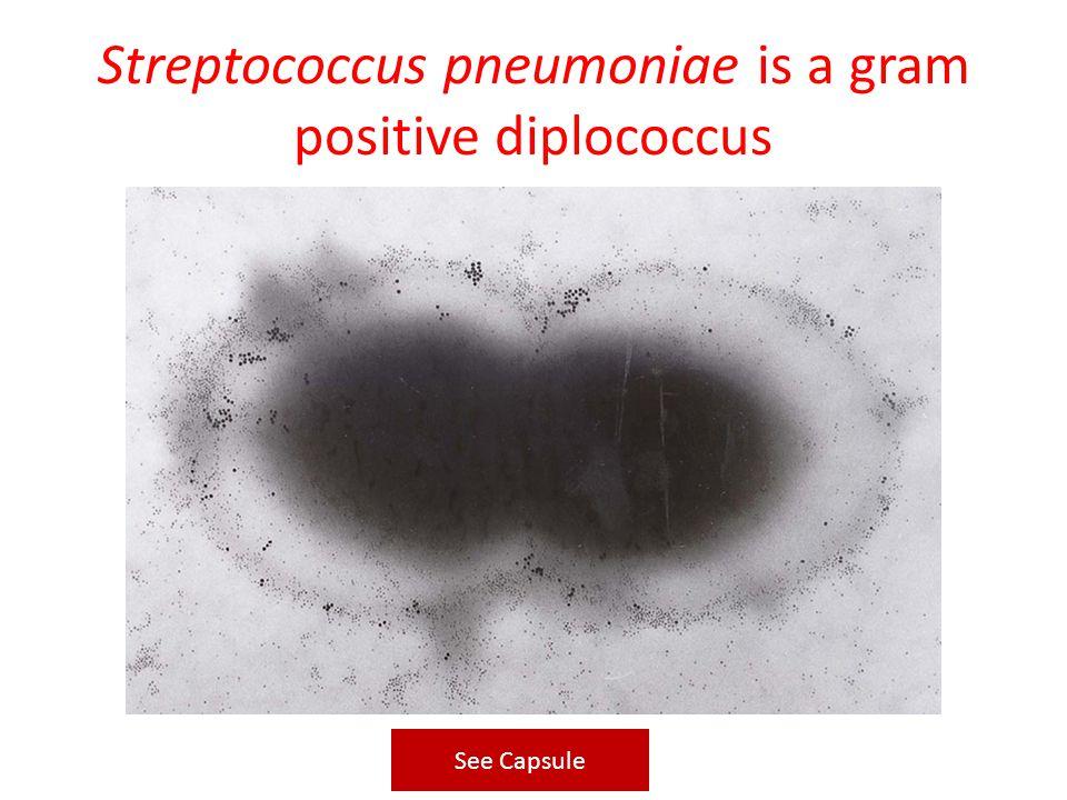 Streptococcus pneumoniae is a gram positive diplococcus See Capsule