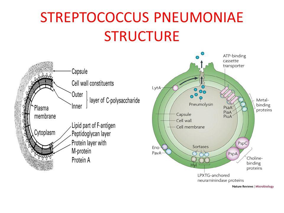STREPTOCOCCUS PNEUMONIAE STRUCTURE