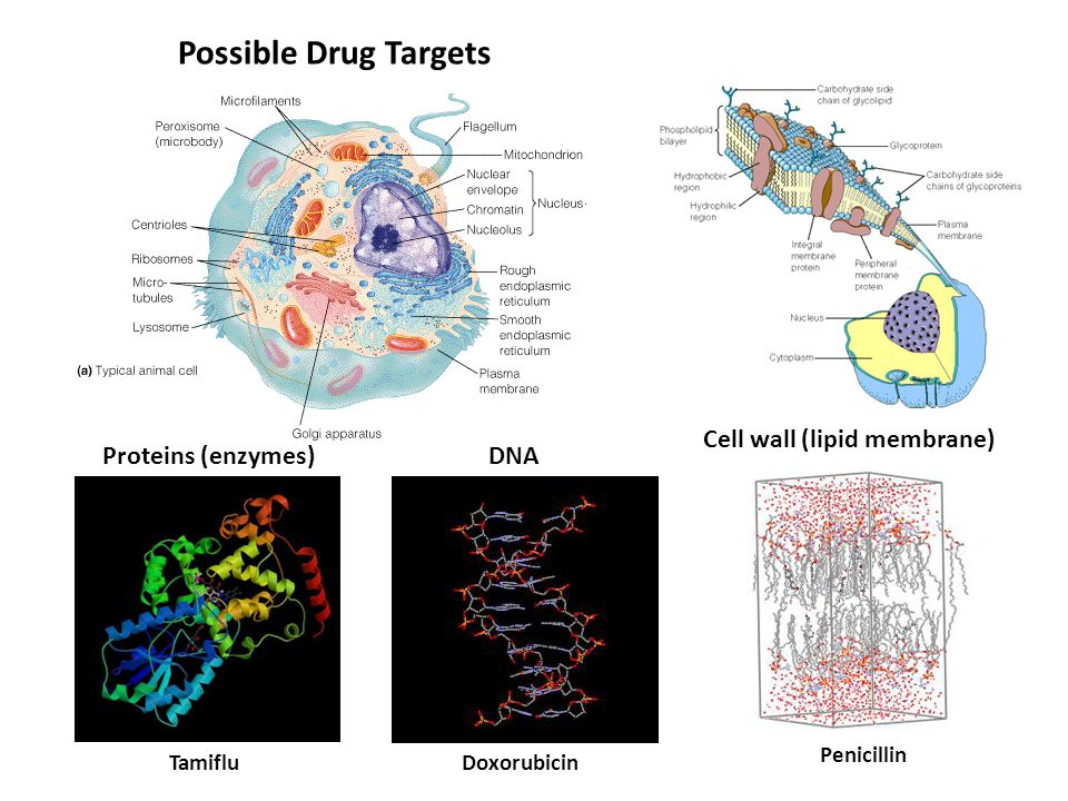 Possible Drug Targets Cell wall (lipid membrane) DNAProteins (enzymes) DoxorubicinTamiflu Penicillin