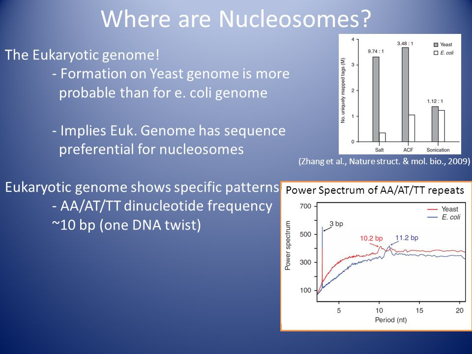 The Eukaryotic genome. - Formation on Yeast genome is more probable than for e.