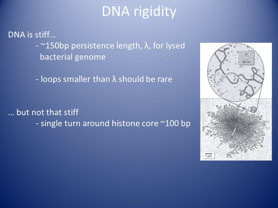 DNA rigidity DNA is stiff… - ~150bp persistence length, λ, for lysed bacterial genome - loops smaller than λ should be rare … but not that stiff - single turn around histone core ~100 bp