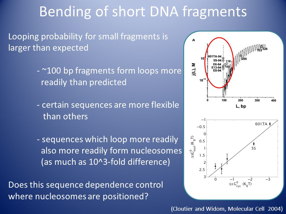 (Cloutier and Widom, Molecular Cell 2004) Looping probability for small fragments is larger than expected - ~100 bp fragments form loops more readily than predicted - certain sequences are more flexible than others - sequences which loop more readily also more readily form nucleosomes (as much as 10^3-fold difference) Does this sequence dependence control where nucleosomes are positioned.