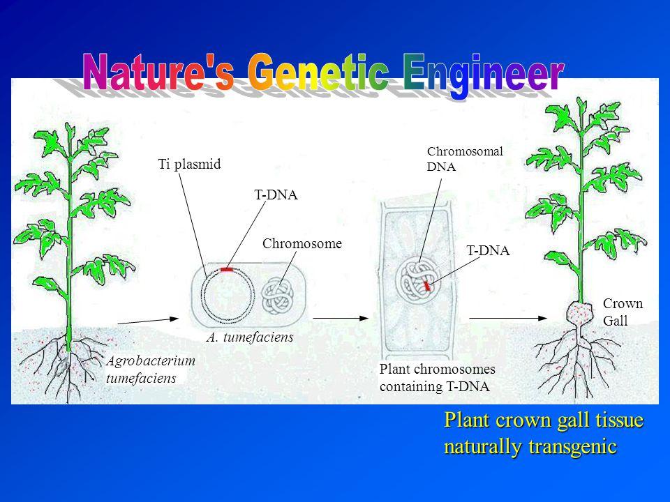 Agrobacterium tumefaciens A. tumefaciens Chromosome T-DNA Ti plasmid T-DNA Chromosomal DNA Crown Gall Plant crown gall tissue naturally transgenic Pla