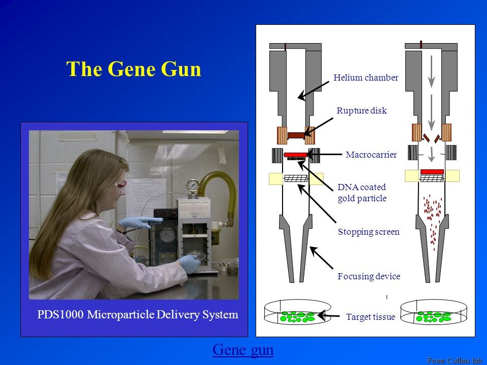 The Gene Gun PDS1000 Microparticle Delivery System Helium chamber Rupture disk Macrocarrier DNA coated gold particle Stopping screen Focusing device Target tissue Gene gun From Collins lab