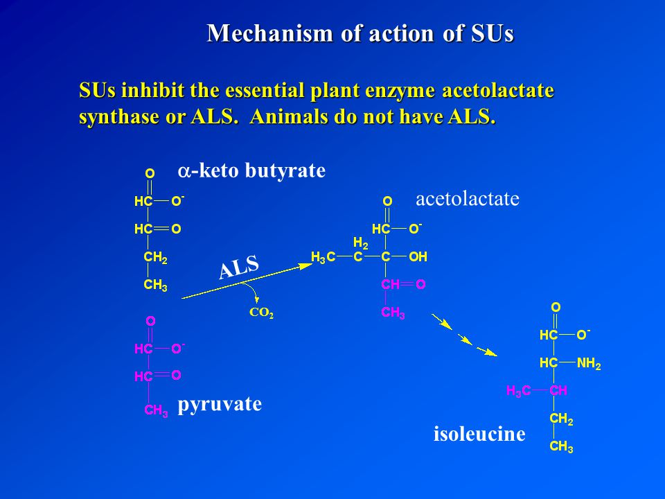 SUs inhibit the essential plant enzyme acetolactate synthase or ALS.