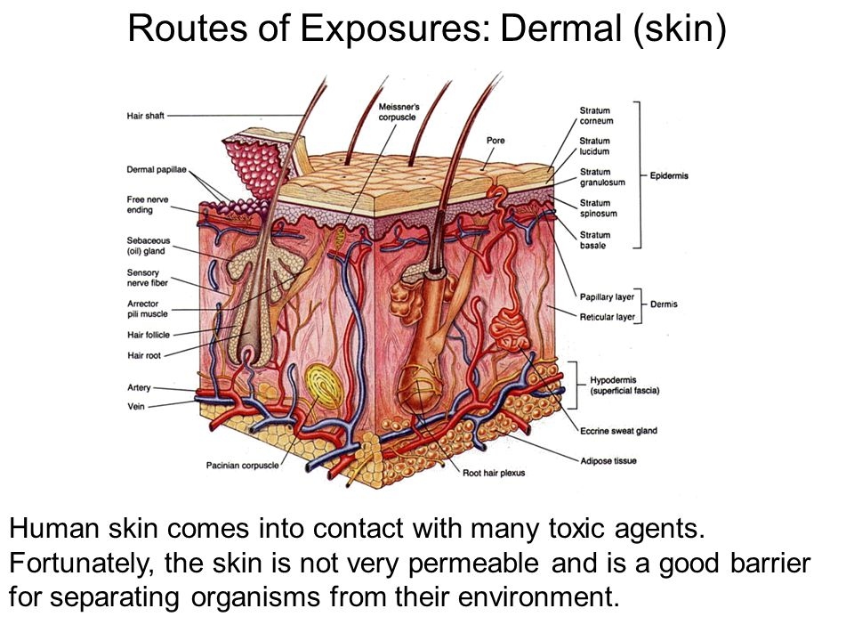 Routes of Exposures: Dermal (skin) Human skin comes into contact with many toxic agents. Fortunately, the skin is not very permeable and is a good bar