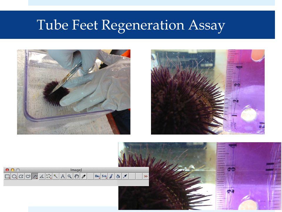 Tube Feet Regeneration Assay