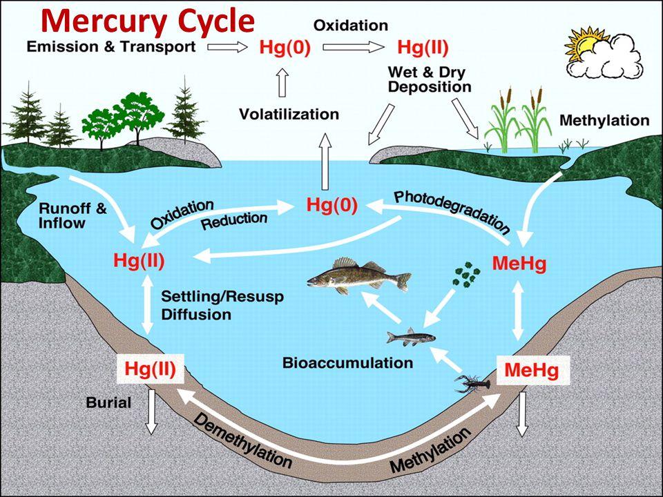 Mercury Cycle