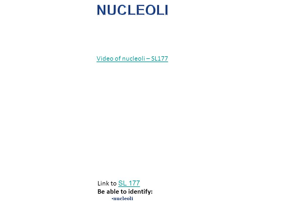 Video of nucleoli – SL177 Link to SL 177 SL 177 Be able to identify: nucleoli