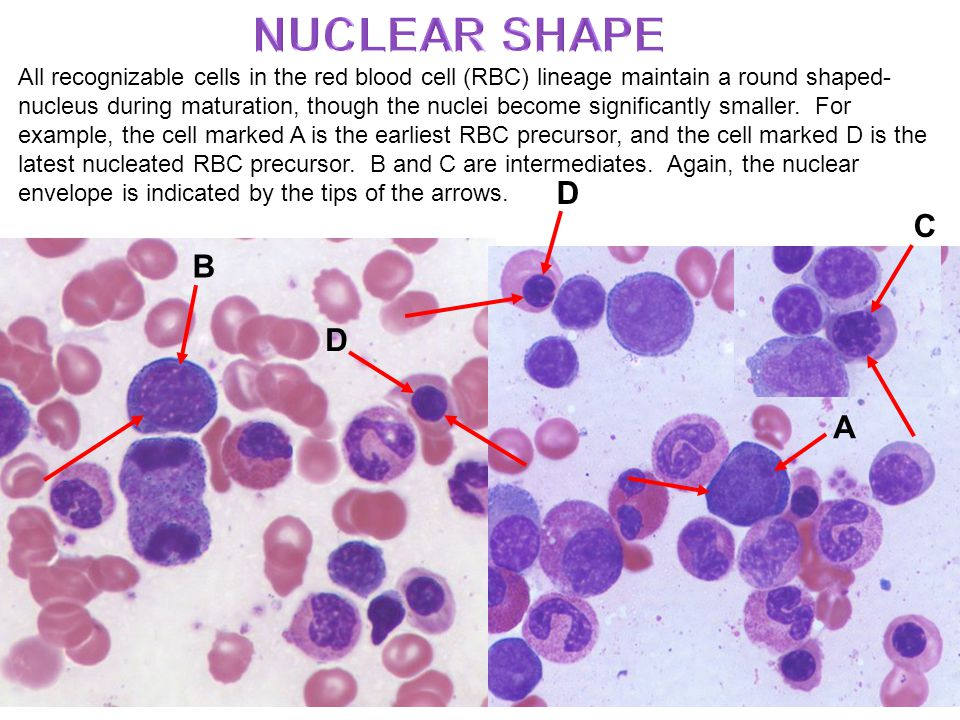 All recognizable cells in the red blood cell (RBC) lineage maintain a round shaped- nucleus during maturation, though the nuclei become significantly smaller.