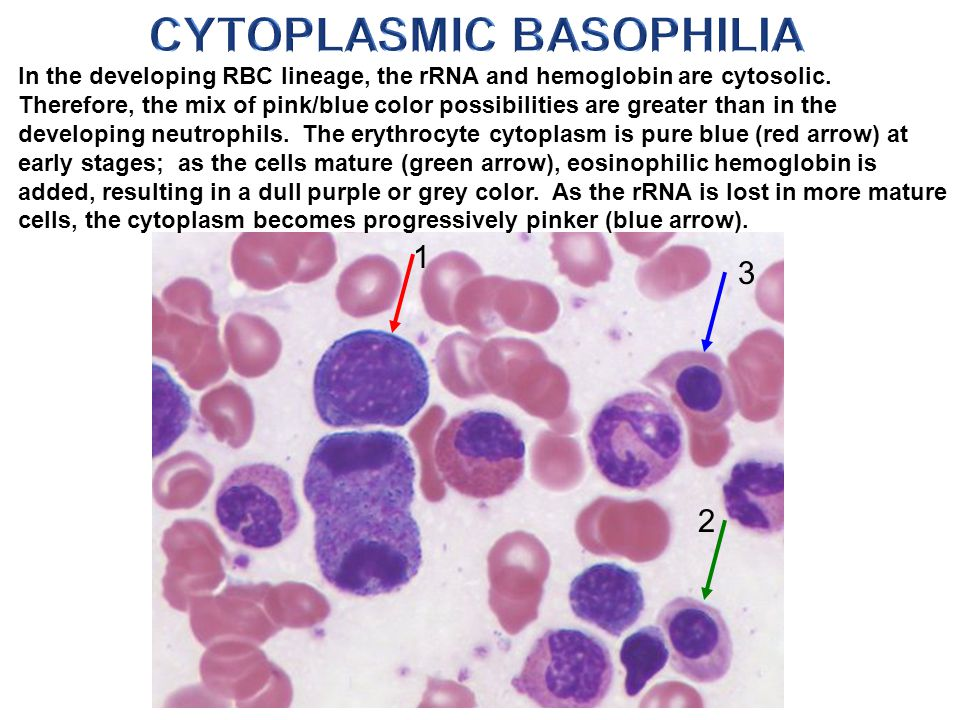 In the developing RBC lineage, the rRNA and hemoglobin are cytosolic.