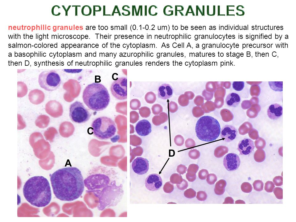 neutrophilic granules are too small (0.1-0.2 um) to be seen as individual structures with the light microscope.